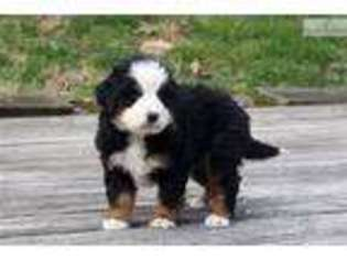 View Ad Bernese Mountain Dog Puppy For Sale Ohio Canton Usa