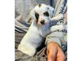 English Setter Puppy for sale in Central City, NE, USA