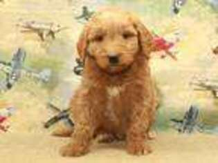 Labradoodle Puppy for sale in Shawnee, OK, USA