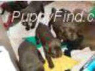 Labrador Retriever Puppy for sale in Granite Falls, WA, USA