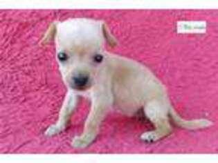Chihuahua Puppy for sale in Edinburg, TX, USA