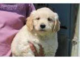Golden Retriever Puppy For Sale near Champaign, IL, USA