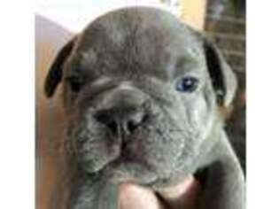Puppyfinder com: French Bulldog puppies puppies for sale near me in