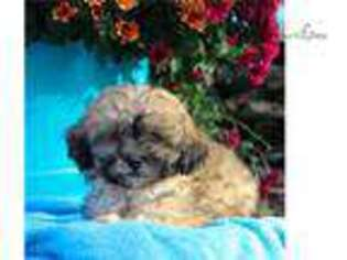 Shih-Poo Puppy for sale in Harrisburg, PA, USA