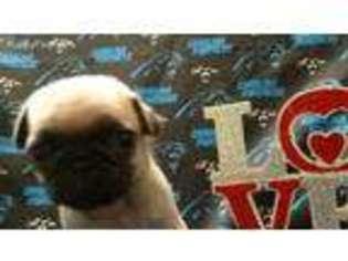 View Ad Pug Puppy For Sale North Carolina Charlotte Usa