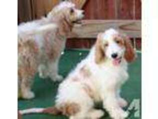 View Ad: Cavapoo Puppy for Sale near Nevada, LAS VEGAS, USA  ADN