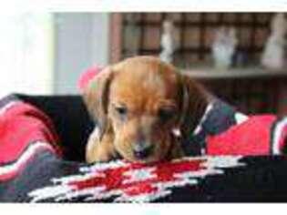 Puppyfinder com: Dachshund puppies puppies for sale near me