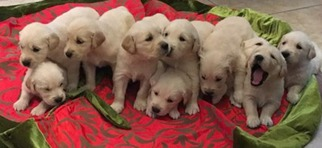 Golden retriever breeders houston texas