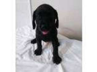 Labrador Retriever Puppy for sale in Lumberton, NC, USA