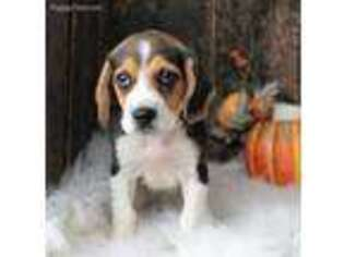 Beagle Puppy for sale in Mammoth Spring, AR, USA
