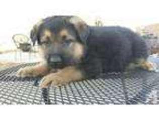 German Shepherd Dog Puppy for sale in RANCHO CUCAMONGA, CA, USA