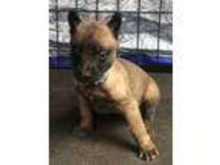 Belgian Malinois Puppy for sale in Vacaville, CA, USA