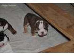 Olde English Bulldogge Puppy For Sale in Woodbury, MN, USA