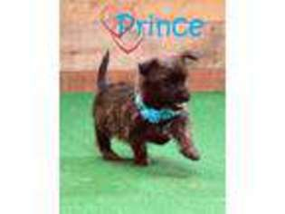Puppyfinder com: Cairn Terrier puppies for sale and Cairn