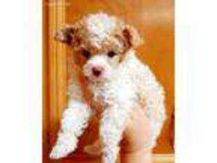 Puppyfindercom Mutt Puppies Puppies For Sale Near Me In