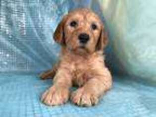 Puppyfinder com: Labradoodle puppies for sale near me in