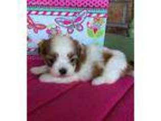 Mal-Shi Dog For Adoption in Baileyville, KS, USA