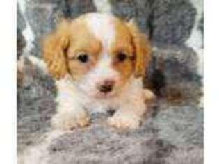View Ad Cavapoo Puppy For Sale Near North Carolina Lenoir Usa