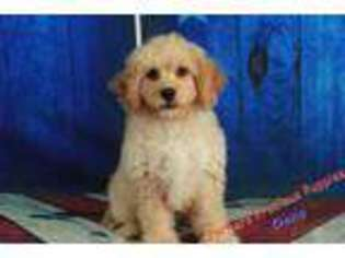 View Ad Cavachon Puppy For Sale North Carolina Hickory Usa