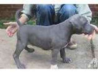 American Pit Bull Terrier Puppy for sale in MOBILE, AL, USA