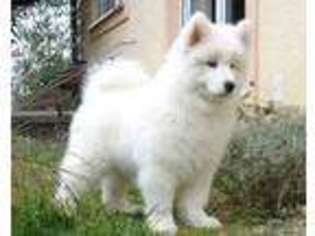 View Ad: Samoyed Puppy for Sale near Ohio, Cleveland, USA