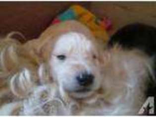 View Ad: Labradoodle Puppy for Sale near Kentucky, BOWLING