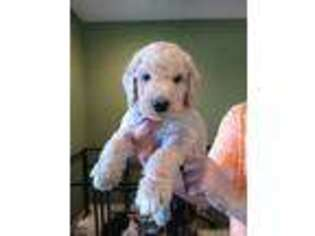 Labradoodle Puppy for sale in Myrtle Beach, SC, USA