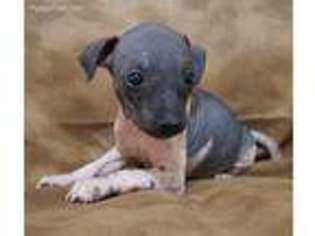 American Hairless Terrier Puppy for sale in Arizona City, AZ, USA