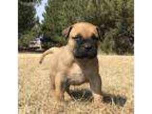 Bullmastiff Puppy for sale in Saint Francis, KS, USA