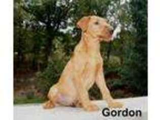 View Ad Irish Terrier Puppy For Sale Missouri Ava Usa