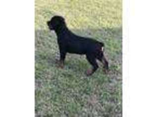 View Ad Rottweiler Puppy For Sale North Carolina Raeford Usa