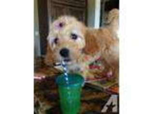 View Ad: Goldendoodle Puppy for Sale near Idaho, MERIDIAN