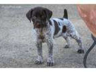 View Ad German Shorthaired Pointer Puppy For Sale Near Mississippi