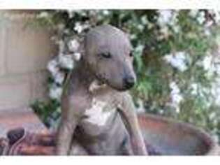 American Hairless Terrier Puppy for sale in La Habra, CA, USA