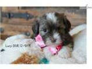 Puppyfinder com: Havanese puppies puppies for sale and