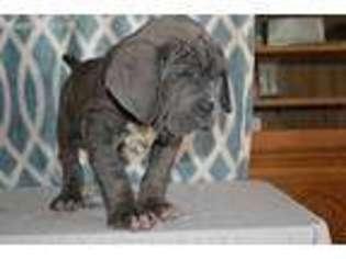 Puppyfinder com: Neapolitan Mastiff puppies for sale and