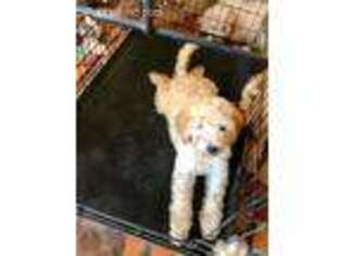 Goldendoodle Puppy for sale in Nicholls, GA, USA