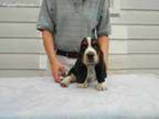 View Ad Basset Hound Puppy For Sale Michigan Battle Creek Usa
