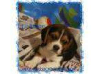 Beagle Puppy For Sale near Fayetteville, AR, USA