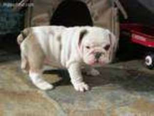 Bulldog Puppy for sale in Killen, AL, USA