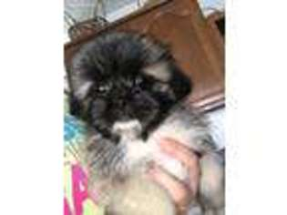 Puppyfinder com: Shinese puppies puppies for sale near me in