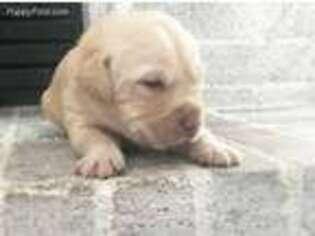 Labrador Retriever Puppy for sale in Boise, ID, USA