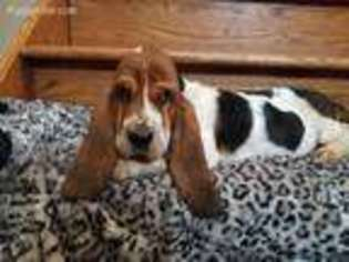 View Ad Basset Hound Puppy For Sale North Carolina Granite Falls Usa