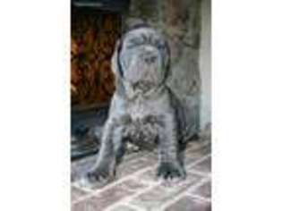 Puppyfinder com: Neapolitan Mastiff puppies puppies for sale near me
