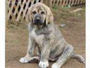 View Ad Spanish Mastiff Puppy For Sale Near Wisconsin Holcombe