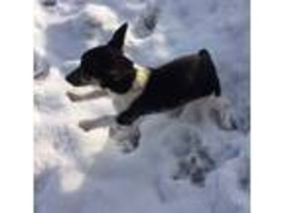 Rat Terrier Puppy For Sale near Cannelburg, IN, USA