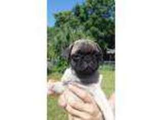 Puppyfinder com: Pug puppies for sale near me in 33629, Tampa