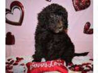 Labradoodle Puppy for sale in Spiro, OK, USA