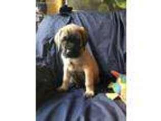 Mastiff Puppy for sale in San Pablo, CA, USA