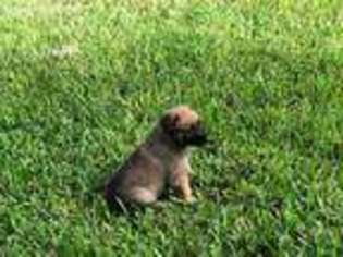 Belgian Malinois Puppy for sale in Melbourne, FL, USA